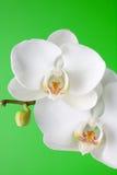 πράσινο orchid ανασκόπησης λε&upsil Στοκ Εικόνες