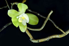 Πράσινο orchid και ξηροί κλάδοι Στοκ Εικόνα