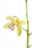 πράσινο orchid λεπτομέρειας Στοκ φωτογραφία με δικαίωμα ελεύθερης χρήσης