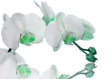 πράσινο orchid λουλουδιών Στοκ Εικόνες