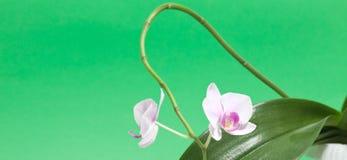 πράσινο orchid Στοκ φωτογραφίες με δικαίωμα ελεύθερης χρήσης
