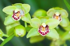 πράσινο orchid Στοκ Φωτογραφίες