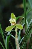 πράσινο orchid Στοκ Φωτογραφία