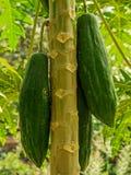 Πράσινο papaya δέντρο με τη δέσμη των φρούτων Στοκ εικόνα με δικαίωμα ελεύθερης χρήσης