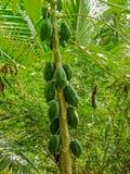 Πράσινο papaya δέντρο με τη δέσμη των φρούτων Στοκ φωτογραφίες με δικαίωμα ελεύθερης χρήσης