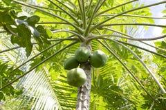 Πράσινο papaya δέντρο, μια οργανική καλλιέργεια στο νησί Μπαλί, Ινδονησία Στοκ Εικόνες
