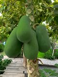 Πράσινο papaya υπόβαθρο στοκ φωτογραφία με δικαίωμα ελεύθερης χρήσης