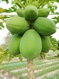 πράσινο papaya Στοκ Εικόνα
