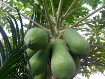 πράσινο papaya Στοκ εικόνα με δικαίωμα ελεύθερης χρήσης