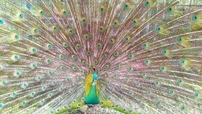 Πράσινο peacock Στοκ Εικόνα