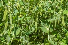 πράσινο pease Στοκ φωτογραφία με δικαίωμα ελεύθερης χρήσης