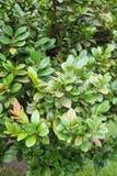 Πράσινο Persimmon δέντρο στον κήπο φύσης Στοκ Εικόνες