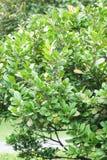 Πράσινο Persimmon δέντρο Στοκ εικόνες με δικαίωμα ελεύθερης χρήσης
