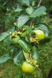 Πράσινο Persimmon Στοκ Φωτογραφίες