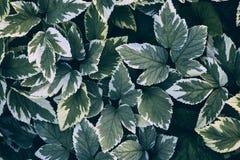 Πράσινο podagraria aegopodium φύλλων Στοκ Εικόνες