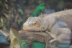 Πράσινο rhinolopha iguana Iguana iguana Πράσινο ζώο ζωής iguana άγριο Στοκ φωτογραφία με δικαίωμα ελεύθερης χρήσης