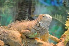 Πράσινο rhinolopha iguana Iguana iguana Πράσινο ζώο ζωής iguana άγριο Στοκ Φωτογραφίες