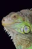 Πράσινο rhinolopha iguana/iguana Iguana Στοκ Φωτογραφία