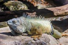Πράσινο rhinolopha iguana Iguana iguana Στοκ εικόνα με δικαίωμα ελεύθερης χρήσης