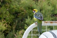 Πράσινο rosella, τασμανικό πουλί παπαγάλων rosella με το κίτρινο κεφάλι, ρ Στοκ φωτογραφίες με δικαίωμα ελεύθερης χρήσης