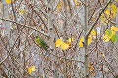 Πράσινο rosella, τασμανικό πουλί παπαγάλων rosella με το κίτρινο κεφάλι, ρ Στοκ Εικόνες