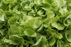 Πράσινο salat, κινηματογράφηση σε πρώτο πλάνο Στοκ Φωτογραφία
