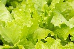 Πράσινο salate Στοκ φωτογραφία με δικαίωμα ελεύθερης χρήσης