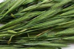 Πράσινο spikelets υπόβαθρο στοκ φωτογραφία με δικαίωμα ελεύθερης χρήσης