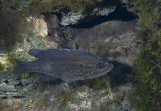 Πράσινο Sunfish - που αερίζει τις ανοίξεις Στοκ Εικόνες