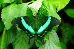 πράσινο swallowtail πεταλούδων στοκ εικόνα
