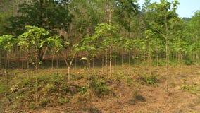 Πράσινο teak δάσος δέντρων, Taungoo, το Μιανμάρ απόθεμα βίντεο