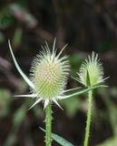 Πράσινο Teasels †«Dipsacus fullornum Στοκ Εικόνες