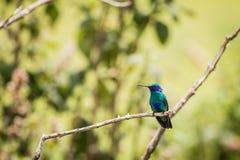 Πράσινο thalassinus Colibri ιώδης-αυτιών Στοκ Εικόνες