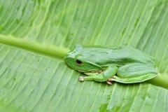 πράσινο treefrog Στοκ φωτογραφία με δικαίωμα ελεύθερης χρήσης