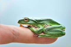 πράσινο treefrog Στοκ φωτογραφίες με δικαίωμα ελεύθερης χρήσης