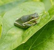 πράσινο treefrog Στοκ εικόνα με δικαίωμα ελεύθερης χρήσης