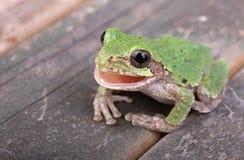 Πράσινο Treefrog, Hyla φαιάς ουσίας Στοκ εικόνα με δικαίωμα ελεύθερης χρήσης