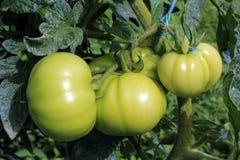 Πράσινο vita ντοματών στοκ φωτογραφία