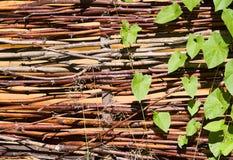 πράσινο wattle φύλλων s κισσών Στοκ Εικόνα
