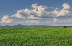Πράσινο wheatfield Στοκ φωτογραφία με δικαίωμα ελεύθερης χρήσης
