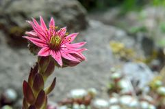 Πράσο σπιτιών ιστών αράχνης, arachnoideum Sempervivum, ενιαίο ρόδινο λουλούδι Copyspace Στοκ φωτογραφία με δικαίωμα ελεύθερης χρήσης