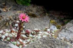 Πράσο σπιτιών ιστών αράχνης, arachnoideum Sempervivum, ρόδινο λουλούδι διάστημα αντιγράφων Στοκ Εικόνα