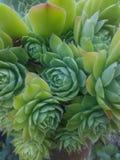 Πράσο σπιτιών Sempervivum tectorum- Στοκ εικόνες με δικαίωμα ελεύθερης χρήσης