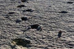 Πραγματικά ίχνη δεινοσαύρων, εθνικό πάρκο Torotoro, Βολιβία Στοκ Φωτογραφία