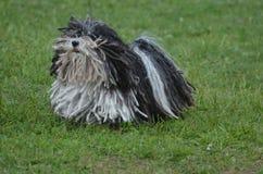 Πραγματικά χαριτωμένο γραπτό σκυλί Puli Στοκ εικόνες με δικαίωμα ελεύθερης χρήσης
