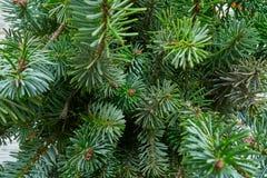 Πραγματική μακροεντολή φύλλων δέντρων έλατου Χριστουγέννων στοκ φωτογραφία με δικαίωμα ελεύθερης χρήσης