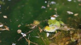 Πραγματική νύχτα που τραγουδά τον πράσινο croaking βάτραχο σε ένα φυσικό περιβάλλον Πραγματικός ζωντανός ήχος απόθεμα βίντεο