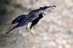 Πραγματικός αετός κατά την πτήση στοκ εικόνα με δικαίωμα ελεύθερης χρήσης