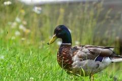 Πραγματικός αρσενικός πρασινολαίμης Στοκ φωτογραφία με δικαίωμα ελεύθερης χρήσης