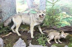 Πραγματικός γεμισμένος λύκος στοκ εικόνες